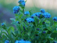 Mavi Çiçekler Gerçekten Mavi mi?